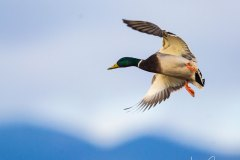 Mallard with a blue mountain sky