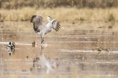 Sandhill Crane with a tip toe landing