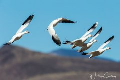 Snow geese banking in the wind