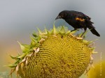 image of red wing blackbird on a large sunflower