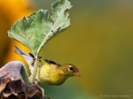 image of female gold finch on stem of sunflower leaf