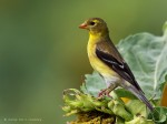 image of female gold finch