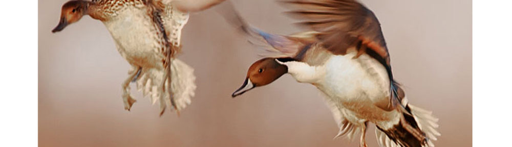 Pair of pintails