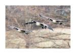 Three canada geese landing