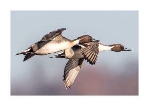 Two pintails in flight